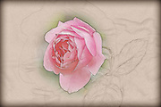 Digital sketch of a pink garden rose