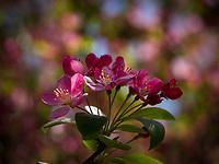 Closeup of crabapple blossoms.