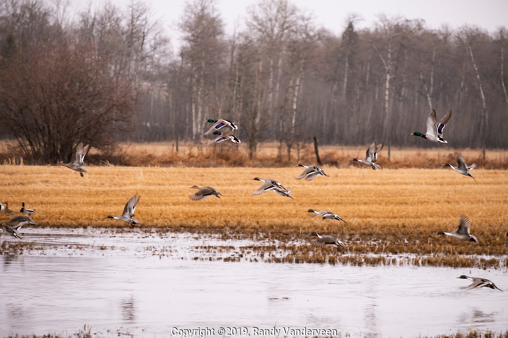 Photo Randy Vanderveen<br /> 2019-04-15<br /> Grande Prairie, Alberta<br /> Ducks take flight into a moody spring morning sky from a slough north of Sexsmith Monday morning. Birds like ducks and geese are taking advantage of any flooded areas to swim as spring slowly arrives in the South Peace.