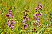 Meadow blazing star (Liatris pycnostachya)<br />Tolstoi Tall Grass Prairie Preserve<br />Manitoba<br />Canada