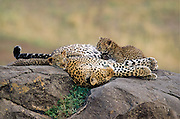 Sleeping Mother Leopard, nursing one cub and lying calmly with another.