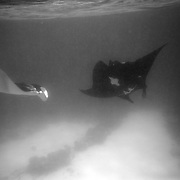 Two Manta Rays feed, swimming through plankton rich waters off Lady Elliot Island, Australia - the southern-most coral cay of the Great Barrier Reef, Australia.