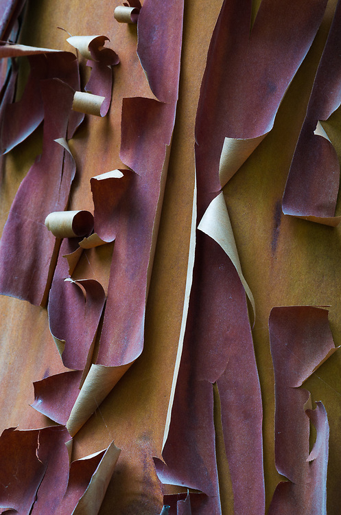 Pacific madrona bark (Arbutus menziesii), morning overcast, August, Olympic National Park, Clallam County, Olympic Peninsula, Washington, USA