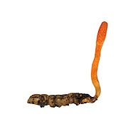 scarlet caterpillarclub<br /> Cordyceps militaris