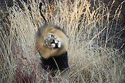 Lion (Panthera leo) scent marking<br /> Marakele Private Reserve, Waterberg Biosphere Reserve<br /> Limpopo Province<br /> SOUTH AFRICA