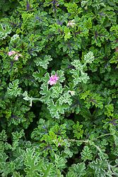 Pelargonium 'Pink Capitatum' (Pink capricorn) and Pelargonium quercifolium syn. 'Royal Oak'. Oak leaved geranium
