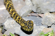 Ecuador, May 21 2010: A Speckled Forest-Pitviper (Bothropsis taeniata) at Wild Sumaco. Copyright 2010 Peter Horrell