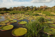 Giant Amazon Water Lily (Victoria amazonica)  LARGEST LILY<br />