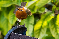 A robin perches on one of the benches around the lakesides at Langdale Lakes <br /> <br /> 23rd April 2021<br /> <br /> www.pauldaviddrabble.co.uk<br /> All Images Copyright Paul David Drabble - <br /> All rights Reserved - <br /> Moral Rights Asserted -
