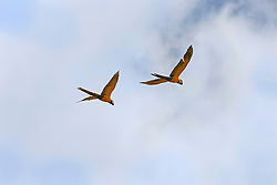 Two Gold and Blue Macaws (Ara ararauna) flying in the sky, Orinoco Delta, Venezuela