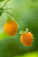 Close up shot of wild salmonberries (Rubus spectabilis) Oregon