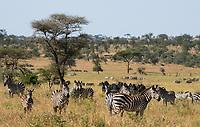 A herd of Grant's Zebras, Equus quagga boehmi, in Serengeti National Park, Tanzania