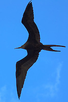 Magnificent Frigatebird over Willemstad, Curacao. Image taken with a Nikon D3s and 70-300 mm VR lens (ISO 450, 165 mm, f/10, 1/800 sec)