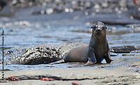 Galapagos Sea Lion, Galapagos Islands National Park