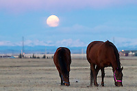 We went for an early morning drive to watch the setting moon at sunrise. It was fun to watch it set over this beautiful field of horses...©2010, Sean Phillips.http://www.Sean-Phillips.com