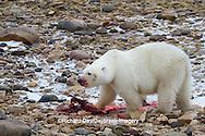 01874-12917 Polar bear (Ursus maritimus) eating Ringed Seal (Phoca hispida)  in winter, Churchill Wildlife Management Area, Churchill, MB Canada