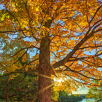 Tree brilliance of New England fall foliage peak colors photographed at the banks of the Wachusett Reservoir in West Boylston, Massachusetts. <br /> <br /> Massachusetts fall foliage peak color photography images are available as museum quality photo, canvas, acrylic, wood or metal prints. Wall art prints may be framed and matted to the individual liking and New England interior design projects decoration needs:<br /> <br /> https://juergen-roth.pixels.com/featured/new-england-fall-foliage-peak-colors-juergen-roth.html<br /> <br /> Good light and happy photo making!<br /> <br /> My best,<br /> <br /> Juergen
