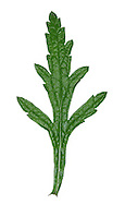 VERVAIN Verbena officinalis (Verbenaceae) Height to 70cm<br /> Upright, roughly hairy perennial with stiff square stems. Grows in dry, grassy places, especially on chalk and limestone. FLOWERS are 4-5mm across and pinkish lilac with 2 lips; borne on slender spikes (Jun-Sep). The flowers are extremely attractive to insects. FRUITS comprise a cluster of nutlets. LEAVES are pinnately lobed and lanceolate. STATUS-Widespread and common in England and Wales; scarce elsewhere.