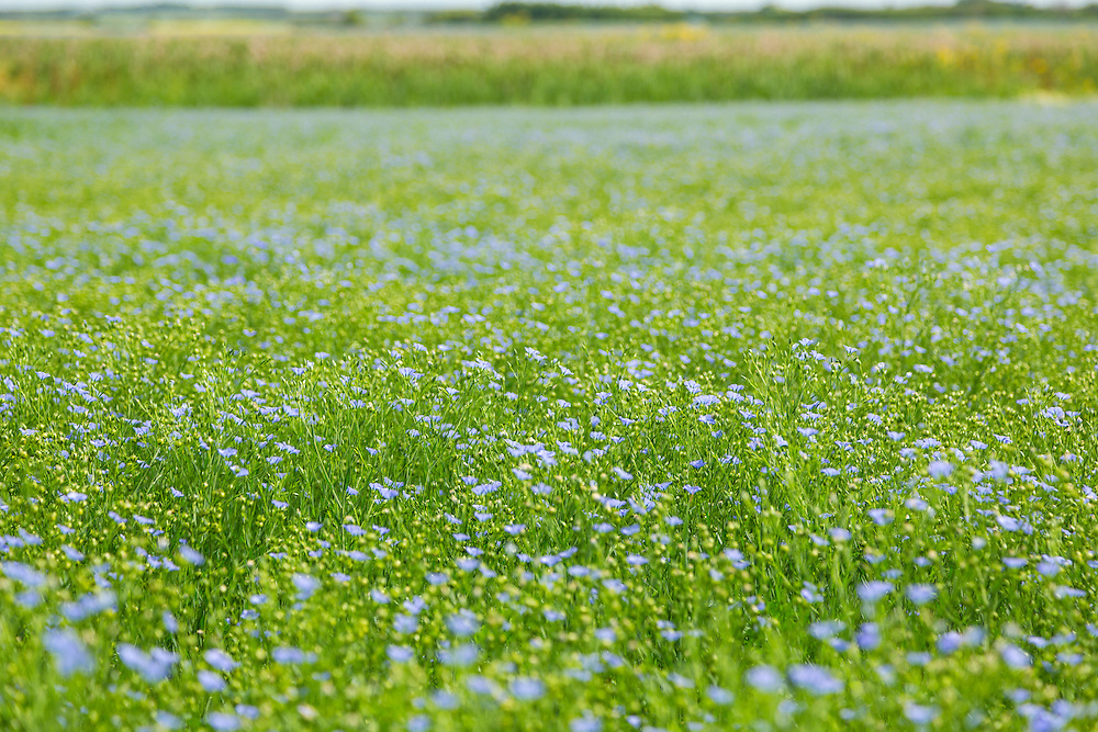 A field of flax at our rest stop on Highway 41, northeast of Aberdeen.