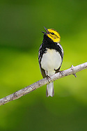Black-throated Green Warbler - Setophaga virens - Adult male