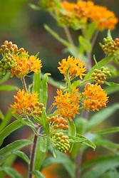 Asclepias tuberosa. Butterfly milkweed, Orange milkweed, Pleurisy root, Chigger flower