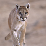 Mountain Lion (Felis concolor) running in the canyonlands of southern Utah's red rock country. Captive Animal