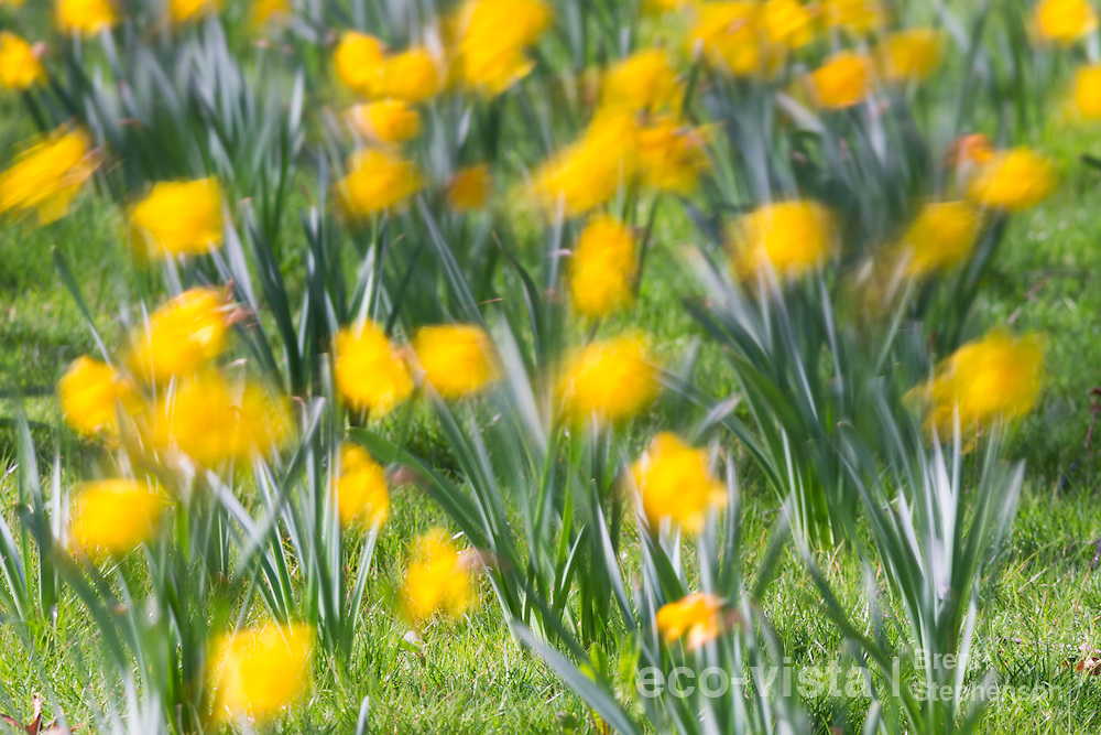 Daffodils (Narcissus sp.) in full flower during a sunny spring day in Nelson. Motion blur during a long exposure photo. Nelson, South Island, New Zealand. September.