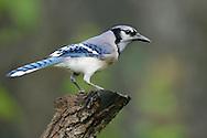 Blue Jay - Cyanocitta cristata
