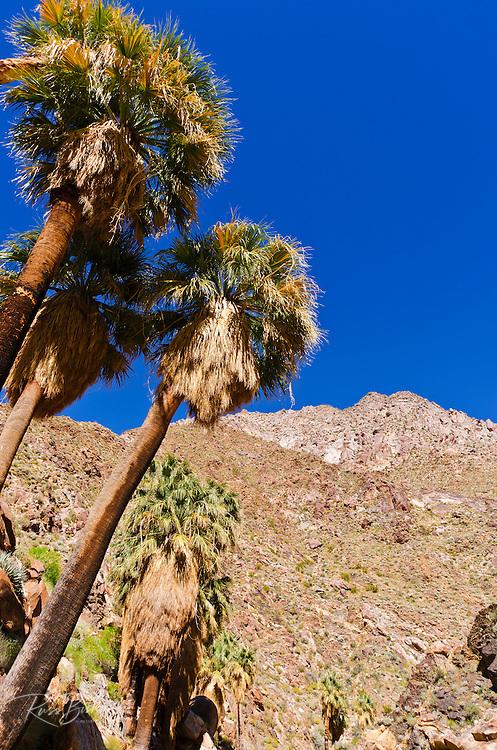 California fan palms in Borrego Palm Canyon, Anza-Borrego Desert State Park, California USA