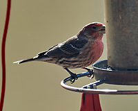 House Finch (Haemorhous mexicanus).Image taken with a Nikon D5 camera and 600 mm f/4 VR lens.