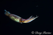 purpleback flying squid, purple squid, yellow-backed squid, or tobiika, Sthenoteuthis oualaniensis, in surface waters of the deep open ocean at night, Kona, Hawaii, USA ( Central Pacific Ocean )
