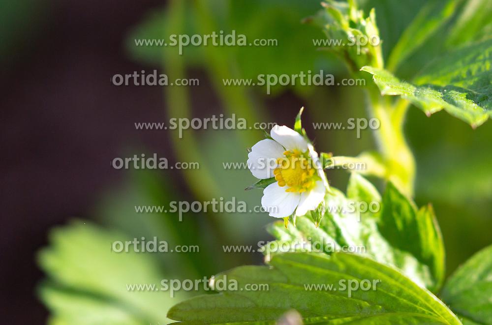 THEMENBILD - eine Blüte einer Erdbeerpflanze im Sonnenlicht, aufgenommen am 10. April 2018, Kaprun, Österreich // a blossom of a strawberry plant in the sunlight on 2018/04/10, Kaprun, Austria. EXPA Pictures © 2018, PhotoCredit: EXPA/ Stefanie Oberhauser
