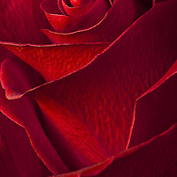 Red rose with a soft feel to it.  Processed in photoshop with 4 photographs.  An elegant and romantic macro image.