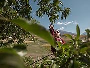 Picking apples. In Roshorv village.