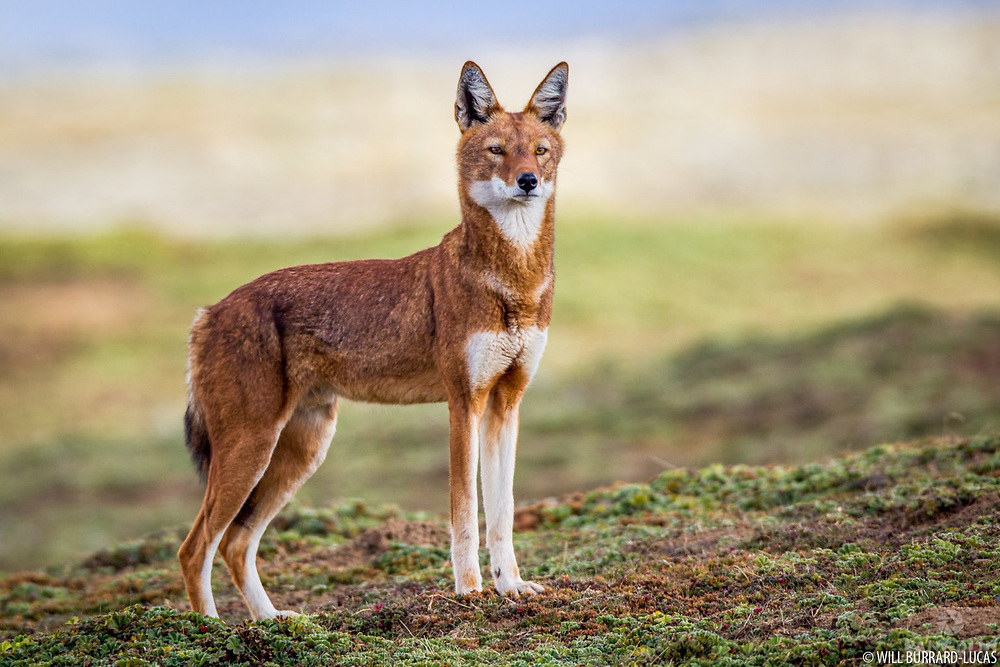 The Ethiopian Wolf.