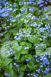 Brunnera macrophylla 'Jack Frost' AGM