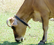 A cow with a bell round its neck grazes on sparse grass in a mountain valley. Teth, Tethi, Albania. 02Sep15
