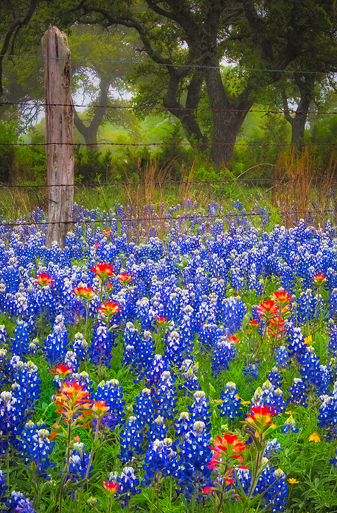 Bluebonnets and Paintbrush along country road in the Texas Hill Country around Llano. Lupinus texensis, the Texas bluebonnet, is a species of lupine endemic to Texas. With other related species of lupines also called bluebonnets, it is the state flower of Texas.