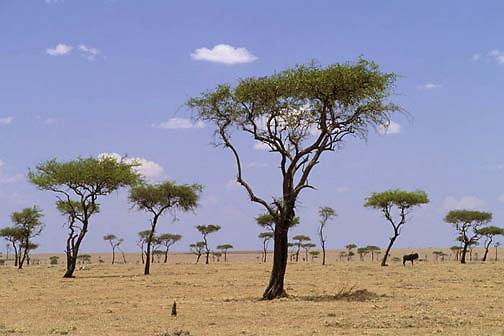 Kenya, Africa. Lone wildlebeest on plains. Masai Mara Game Reserve.
