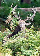 © Licensed to London News Pictures. 18/09/2014. Richmond, UK A Deer stag stands covered in bracken in Richmond Park today 18th September 2014. Autumn sees the start of the 'Rutting' season where the large Red Deer stags can be heard roaring and barking in an attempt to attract females. Photo credit : Stephen Simpson/LNP