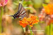 03006-00504 Zebra Swallowtail (Protographium marcellus) on Zinnia Union Co. IL