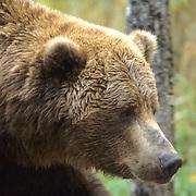 Alaskan Brown Bear, (Ursus middendorffi) Portrait of adult. Alaska Peninsula.