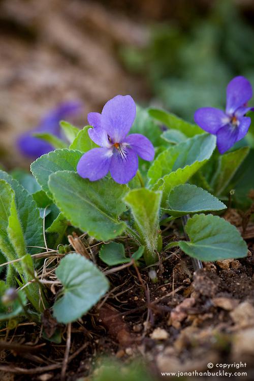Hairy Violet. Viola hirta