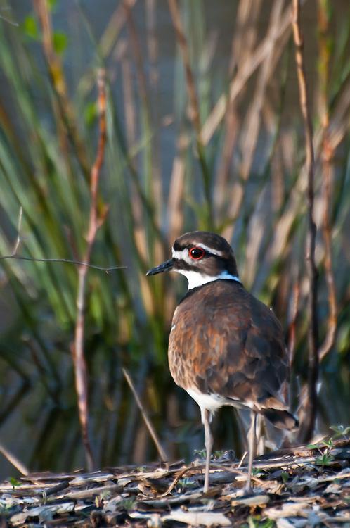 Killdeer (Charadrius vociferus) at Magnuson Park wetlands, Seattle, Washington.