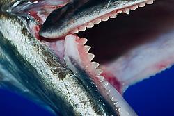 Jaw of a Wahoo, Pacific Kingfish or Ono in Hawaiian, Acanthocybium solandri, showing rows of sharp serrated teeth, off Kona Coast, Big Island, Hawaii, Pacific Ocean
