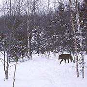 Gray Wolf, (Canis lupus) subordinate female walking through timber. Mid winter. Captive Animal.