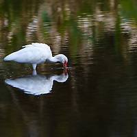 South Florida bird photography from New England based outdoor photographer Juergen Roth showing a white Ibis at Green Cay Wetlands in Boynton Beach, Florida. Green Cay and Wakodahatchee Wetlands are amazing nature area for viewing and photographing wildlife in Florida. <br /> <br /> Bird photography images of this ibis are available as museum quality wall art photo prints, canvas prints, wood prints, acrylic prints or metal prints. Fine art prints may be framed and matted to the individual liking and wall art interior design project needs:<br /> <br /> https://juergen-roth.pixels.com/featured/white-ibis-at-green-cay-wetlands-juergen-roth.html<br /> <br /> All digital bird photo images are available for photography image licensing at www.RothGalleries.com. Please contact me direct with any questions or request.<br /> <br /> Good light and happy photo making!<br /> <br /> My best,<br /> <br /> Juergen<br /> Prints: http://www.rothgalleries.com<br /> Photo Blog: http://whereintheworldisjuergen.blogspot.com<br /> Instagram: https://www.instagram.com/rothgalleries<br /> Twitter: https://twitter.com/naturefineart<br /> Facebook: https://www.facebook.com/naturefineart