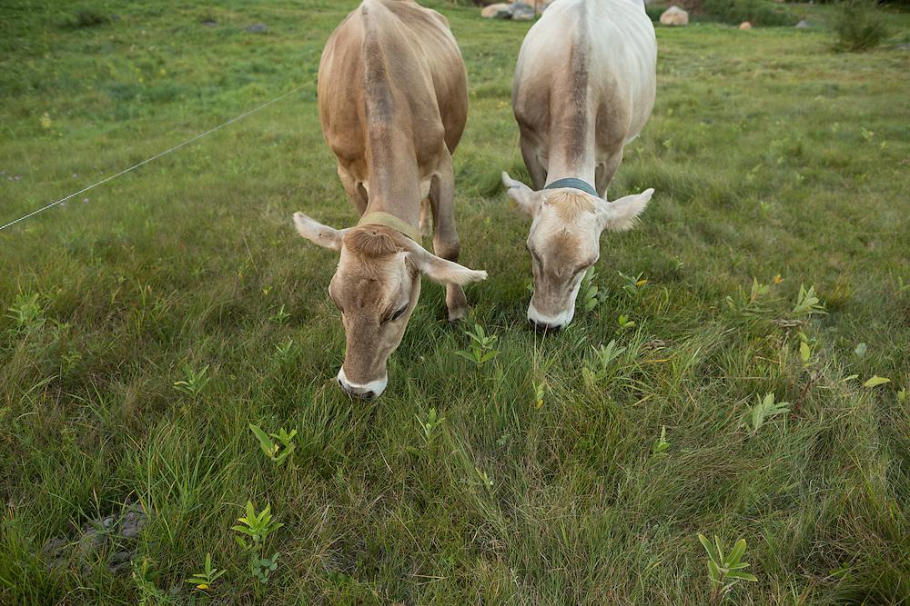Two brown swiss grazing