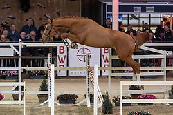 006, Quicksilver C<br /> Hengstenkeuring BWP - Lier 2019<br /> © Hippo Foto - Dirk Caremans<br /> 18/01/2019