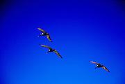 Three Brown Pelican birds  in flight in deep blue sky, Galapagos Islands, Ecuador